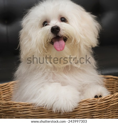 Shih tzu puppy breed tiny dog , age 6 month, playfulness, loveliness - stock photo