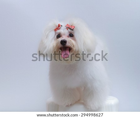 Shih tzu puppy breed tiny dog on white background - stock photo