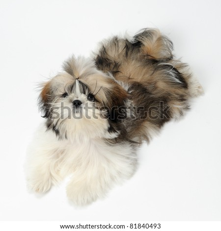 Shih Tzu puppy laying on white background - stock photo