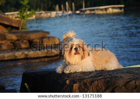 Shih Tzu puppy lying on a rock at the lake at sunset. - stock photo