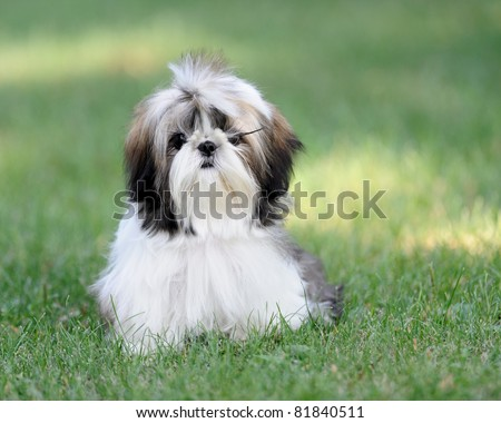 Shih Tzu puppy on green grass - stock photo