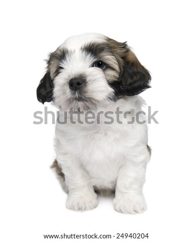 Shih Tzu puppy (7 weeks) in front of a white background - stock photo