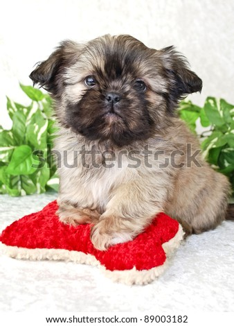 Shih-Tzu puppy with red dog toy. - stock photo