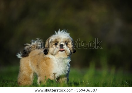 Shih Tzu standing in the field - stock photo