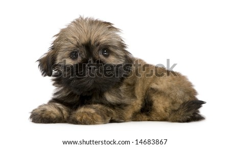 Shih Tzu (10 weeks) in front of a white background - stock photo
