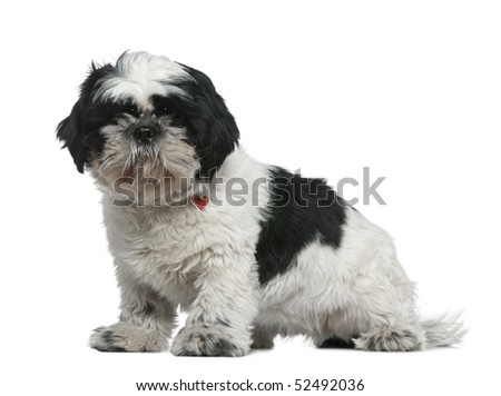 Shih Tzu, 1 year old, sitting in front of white background - stock photo