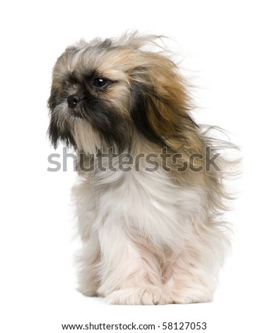 Shih Tzu, 1 year old, with windblown hair in front of white background - stock photo