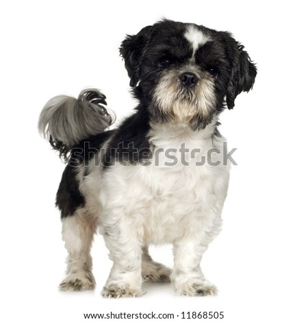 Shih Tzu (5 years) in front of a white background - stock photo
