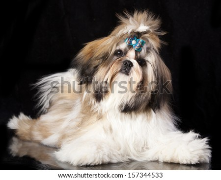 shihtzu dog - stock photo