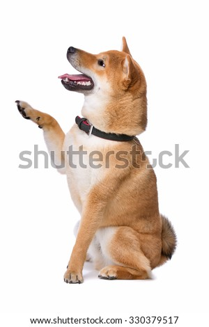 Shina Inu in front of a white background - stock photo