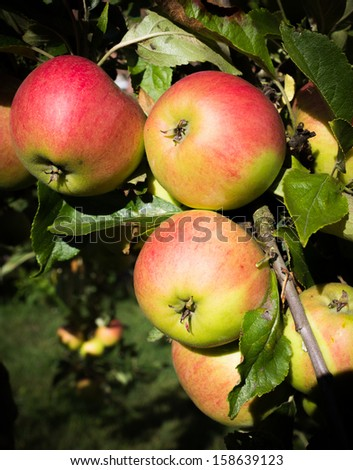 Shiny, rosy Braeburn Apples growing on a tree. - stock photo
