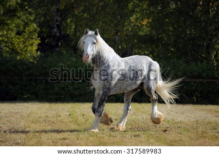 Shire Draft horse stallion galloping on meadow - stock photo