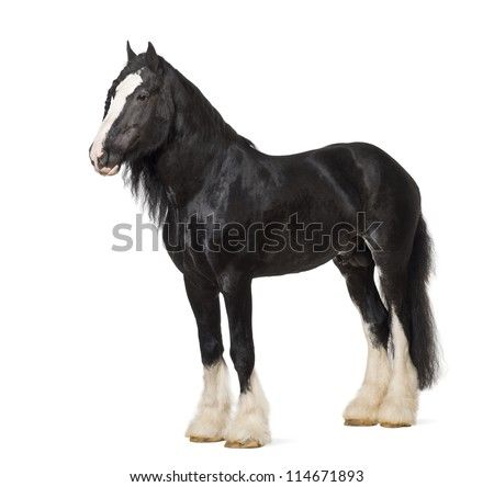 Shire Horse standing against white background - stock photo