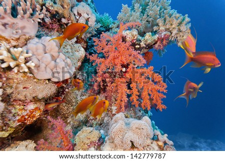 Shoal of anhthias fish on the soft coral reef - stock photo