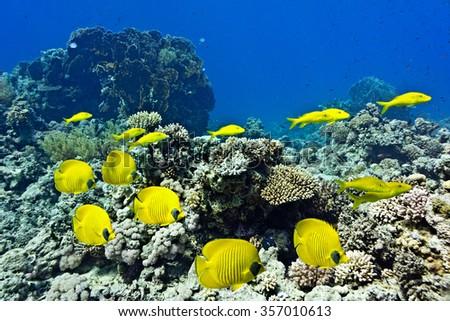 Shoal of Butterflyfish and Yellowsaddle Goatfishfish on the coral reef - stock photo