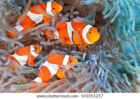 Shoal of clownfish - stock photo
