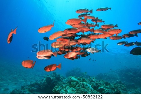 Shoal of Crescent-tail Bigeyes (Priacanthus hamrur) - stock photo