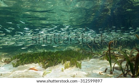 Shoal of fish underwater on a shallow seabed near the mangrove, Caribbean sea - stock photo