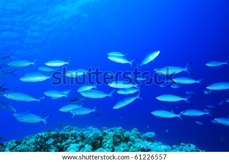 Shoal of Fusilier Fish above a tropical coral reef - stock photo
