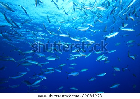 Shoal of Fusilier Fish on blue background - stock photo
