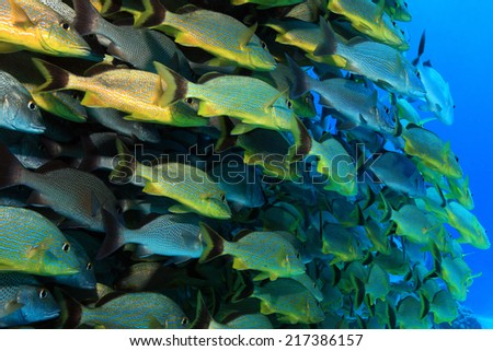 Shoal of grunt fish underwater in the coral reef of the caribbean sea  - stock photo