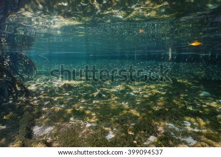 Shoal of juvenile fish in shallow water in the mangrove with the seabed reflected under water surface, Caribbean sea - stock photo
