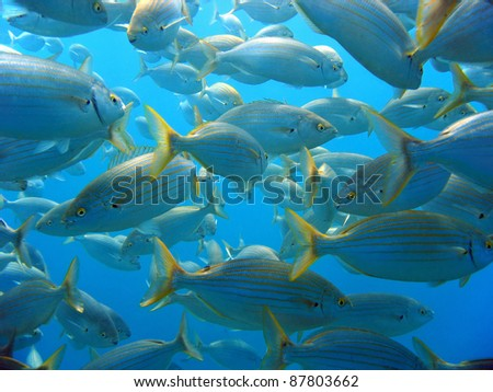 Shoal of Salema porgy bream fish, Mediterranean sea, Azure coast, French riviera, Var, France - stock photo