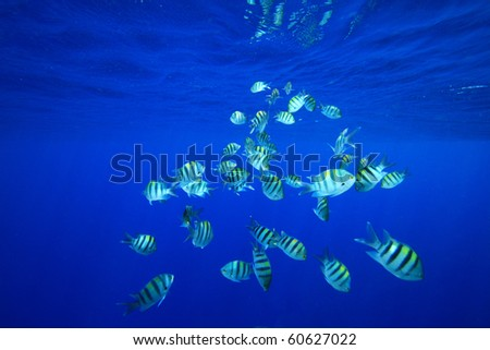 Shoal of Scissortail Sergeants - stock photo