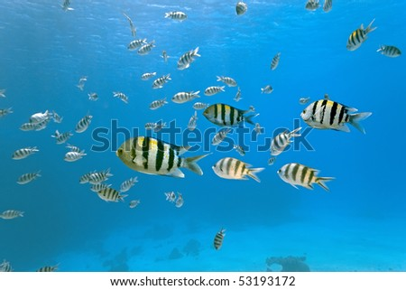 Shoal of sergeant fish - stock photo
