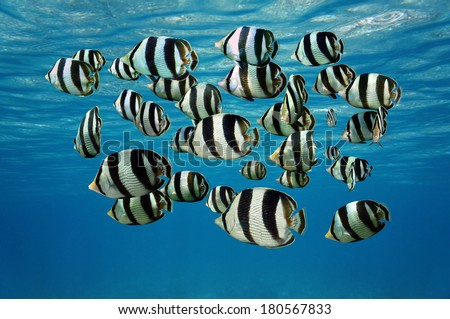 Shoal of tropical fish, Banded butterflyfish, with water surface in background, Caribbean sea - stock photo