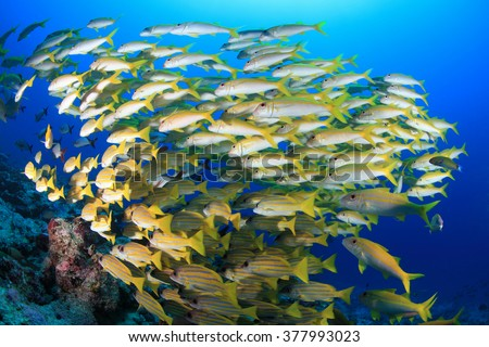 Shoal of Yellowfin goatfishes (Mulloidichthys vanicolensis) in the reef of the indian ocean  - stock photo