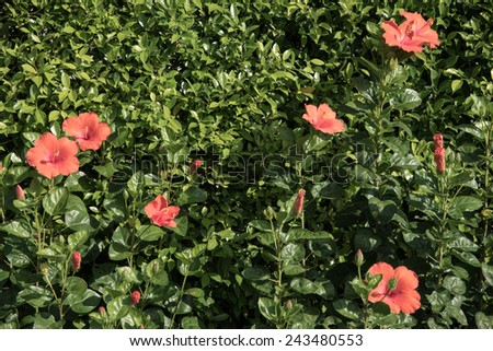 Shoe Flower or Hibiscus or Chinese rose or Hibiscus rosa sinensis flower in garden - stock photo