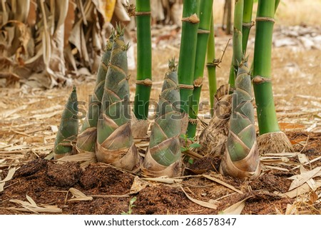 Shoots of Bamboo in the rain forest - stock photo