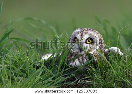 Short-Eared Owl hiding in the grass in England. - stock photo