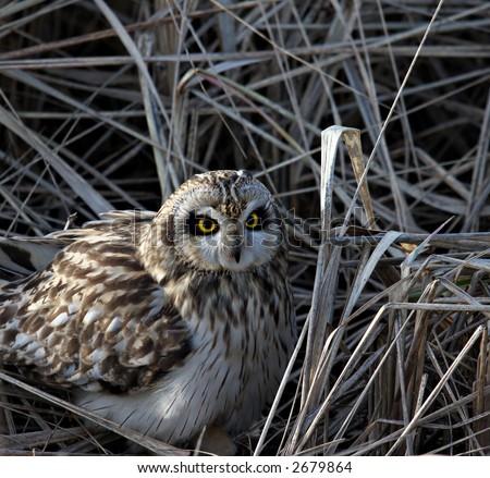 short eared owl hiding in wild grasses - stock photo