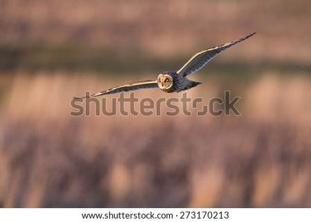 Short eared owl hunting in dusk sunlight - stock photo
