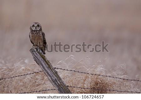 Short-eared owl on barb-wire fence post in prairie farmland habitat - stock photo