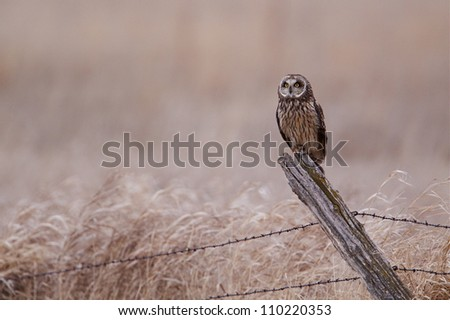 Short-eared Owl perched on a barbwire fence post in agricultural / farm / grazing / prairie / grasslands in western Minnesota; bird of prey - stock photo