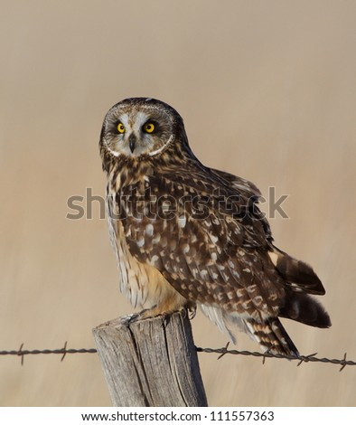 Short-eared Owl perched on a barbwire fence post in Fort Pierre National Grassland, South Dakota prairie; bird of prey - stock photo