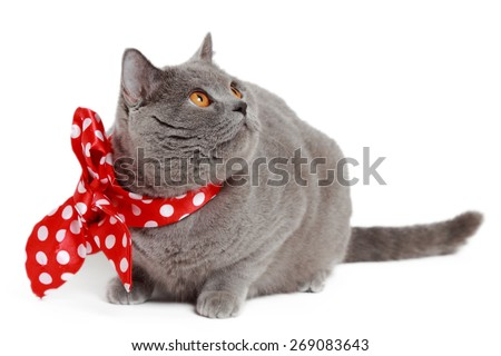short hair gray British cat with red bow - stock photo