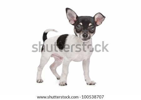 short haired chihuahua puppy Black And White Short Hair Chihuahua