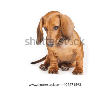 short haired Dachshund Dog isolated over white background - stock photo