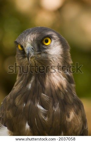 Short toed eagle ( circaetus gallicus ) close up - stock photo