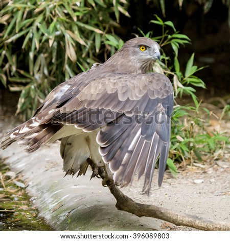 Short toed eagle ( circaetus gallicus ) in forest - stock photo