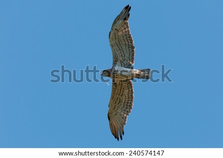 short-toed eagle (Circaetus gallicus) with snake prey in flight - stock photo