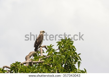 Short-toed snake eagle sits in a tree top - stock photo