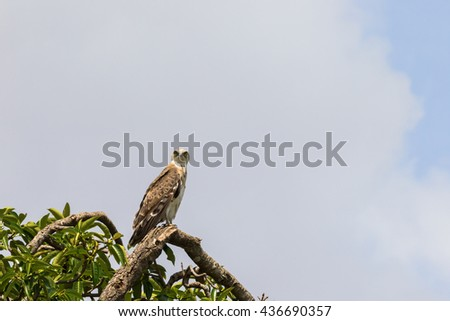 Short toed snake eagle sitting in a tree in the Masai Mara National Park - stock photo