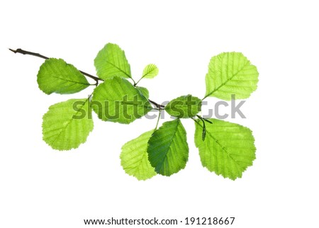 Short twig of alder with green leaves isolated on white    - stock photo