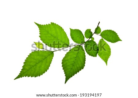 Short twig of elm with green toothed leaves isolated on white    - stock photo
