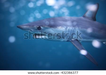 shortfin mako shark, Isurus oxyrinchus, off Cape Point, South Africa, Atlantic Ocean - stock photo